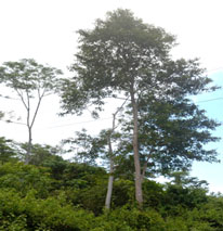 bansilay tree